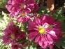 西洋ギクを苗から育てて咲かせる