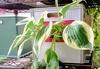 タテニワ・垂直栽培 収納ボックスでギボウシ栽培Ⓡ(終了)