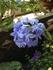 魅惑のブルー。ルリマツリ