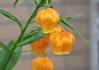 鉢植えサンダーソニア