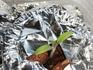 ミニトマト(ショコラ色)🍅種から水耕栽培