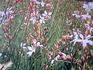 白い蝶のようなお花ガウラちゃん(^○^)