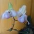 パフェオの開花まで