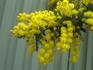 黄色いミモザのお花を、タネから。