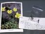 高山植物リシリヒナゲシを温暖な関西で