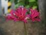リコリスの複色花