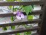 お豆さんのような涼しげな花スネイルフラワー、
