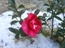 サザンカ 普通の赤花