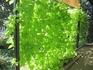 イポメアで緑のカーテン