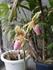 多花性パフィオペディラムの開花