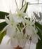 長い距を持った、真っ白で良い香りの蘭です
