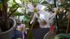 ダイモンジソウを種から育てる