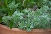 アサギリソウの栽培