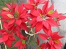 大きな葉で姿の良い真っ赤なポインセチア!
