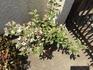 斑入葉ウツギ 枝切りで花がたくさん