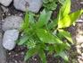 エキナセア3種の栽培記録