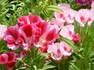 種からゴデチア。ゴージャスなお花