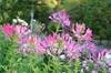 華麗なお花。クレオメを種から。