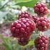 ブラックベリーの栽培