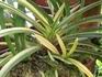 富貴蘭の栽培