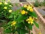 黄色い花、赤い実が綺麗な花木です。