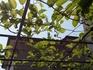 サルナシの栽培