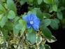 アメリカンブルーの挿し芽に挑戦