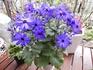 木立セネシオの種まきから開花まで