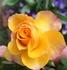 ミニ薔薇 Ⅱ