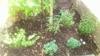 チェリーセージを地植えで越冬