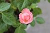 ミニ薔薇:Lovelyプリンセス