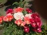 ゴデチャを仏花として育てました