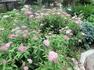 シモツケ、今年3度目が咲きました