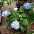 母の紫陽花