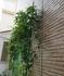 我が家の緑のカーテン(トケイソウ)