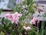 エゴノキ'ピンクチャイム'種からの生長