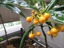 カラタチバナの種まき