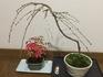 イトザクラの盆栽。いつまで育つか?な。
