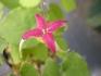 楊貴妃は名前に負けない鮮やかな美花