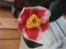 椿「玉之浦」がお正月に咲いた!