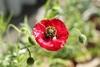 ひなげしを種から鉢植えで(初めての栽培)