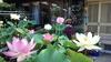 小さな極楽  蓮の咲く庭