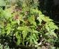 種蒔きモミジから盆栽