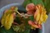 球根ベゴニアフォーチュンの種を蒔く