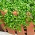 コルシカミントの栽培