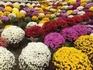 難物「ざる菊」に挑戦