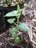 オキシペタラムの種蒔き初挑戦