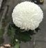 切り花のピンポンマムの挿し木