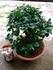 常盤柿の盆栽を作りたい。