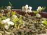 節分草3年めに開花